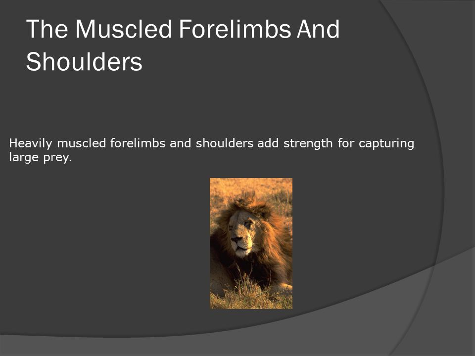 The Muscled Forelimbs And Shoulders Heavily muscled forelimbs and shoulders add strength for capturing large prey.