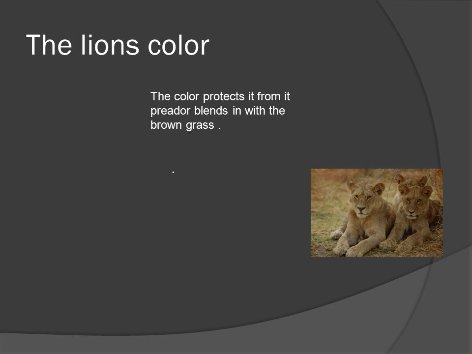 The lions color. The color protects it from it preador blends in with the brown grass.