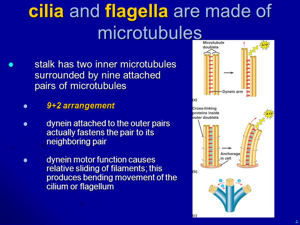 . cilia and flagella are made of microtubules stalk has two inner microtubules surrounded by nine attached pairs of microtubules stalk has two inner m