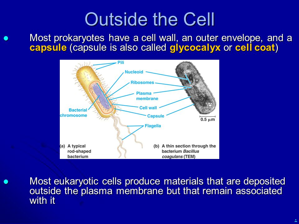 . Outside the Cell Most prokaryotes have a cell wall, an outer envelope, and a capsule (capsule is also called glycocalyx or cell coat) Most prokaryotes have a cell wall, an outer envelope, and a capsule (capsule is also called glycocalyx or cell coat) Most eukaryotic cells produce materials that are deposited outside the plasma membrane but that remain associated with it Most eukaryotic cells produce materials that are deposited outside the plasma membrane but that remain associated with it