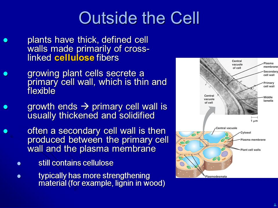 . Outside the Cell plants have thick, defined cell walls made primarily of cross- linked cellulose fibers plants have thick, defined cell walls made primarily of cross- linked cellulose fibers growing plant cells secrete a primary cell wall, which is thin and flexible growing plant cells secrete a primary cell wall, which is thin and flexible growth ends  primary cell wall is usually thickened and solidified growth ends  primary cell wall is usually thickened and solidified often a secondary cell wall is then produced between the primary cell wall and the plasma membrane often a secondary cell wall is then produced between the primary cell wall and the plasma membrane still contains cellulose still contains cellulose typically has more strengthening material (for example, lignin in wood) typically has more strengthening material (for example, lignin in wood)