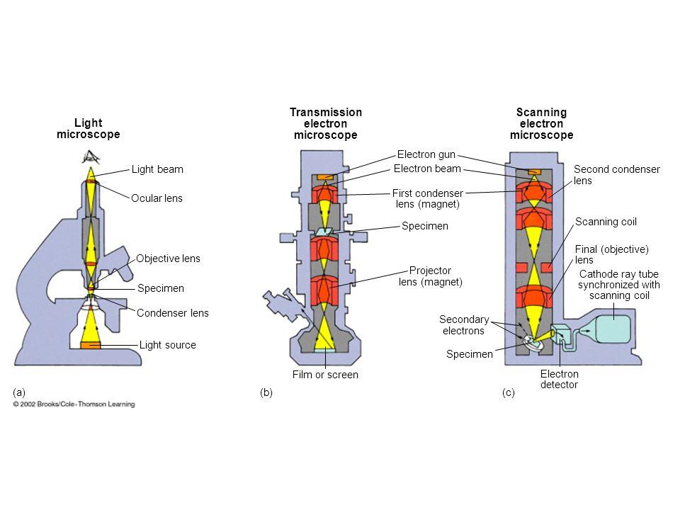 Light microscope Transmission electron microscope Scanning electron microscope Light beam Ocular lens Objective lens Specimen Condenser lens Light sou
