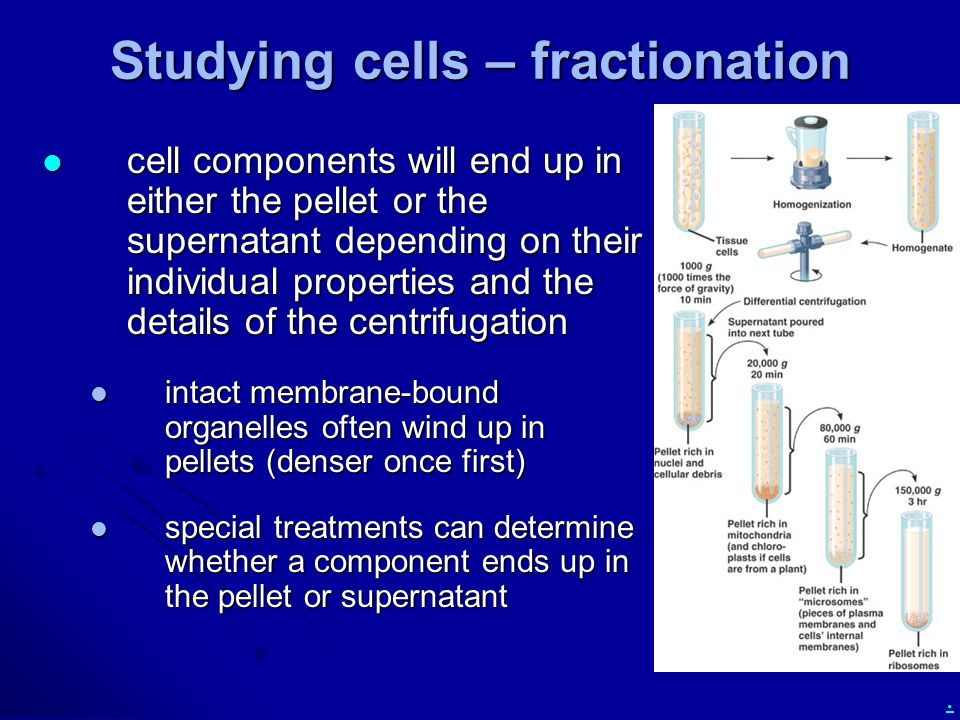 . Studying cells – fractionation cell components will end up in either the pellet or the supernatant depending on their individual properties and the details of the centrifugation cell components will end up in either the pellet or the supernatant depending on their individual properties and the details of the centrifugation intact membrane-bound organelles often wind up in pellets (denser once first) intact membrane-bound organelles often wind up in pellets (denser once first) special treatments can determine whether a component ends up in the pellet or supernatant special treatments can determine whether a component ends up in the pellet or supernatant