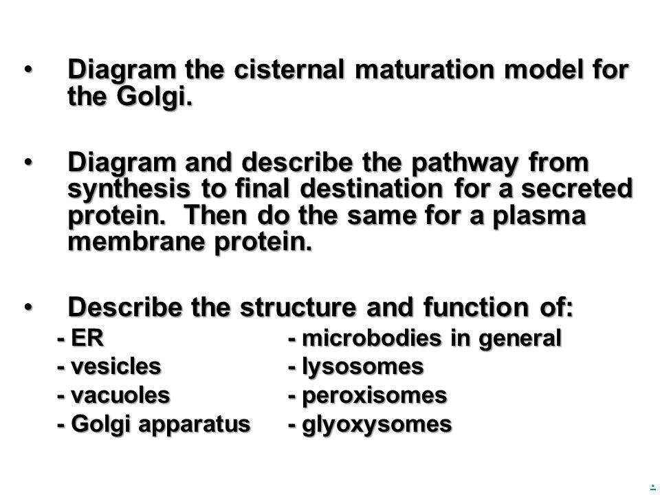 Diagram the cisternal maturation model for the Golgi.Diagram the cisternal maturation model for the Golgi.