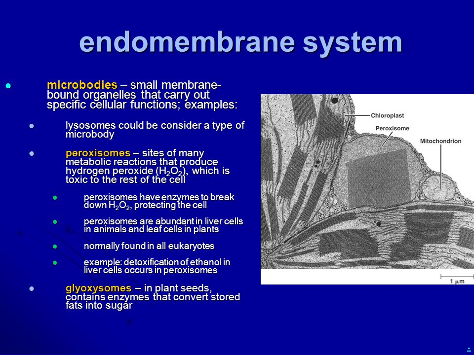. endomembrane system microbodies – small membrane- bound organelles that carry out specific cellular functions; examples: microbodies – small membran