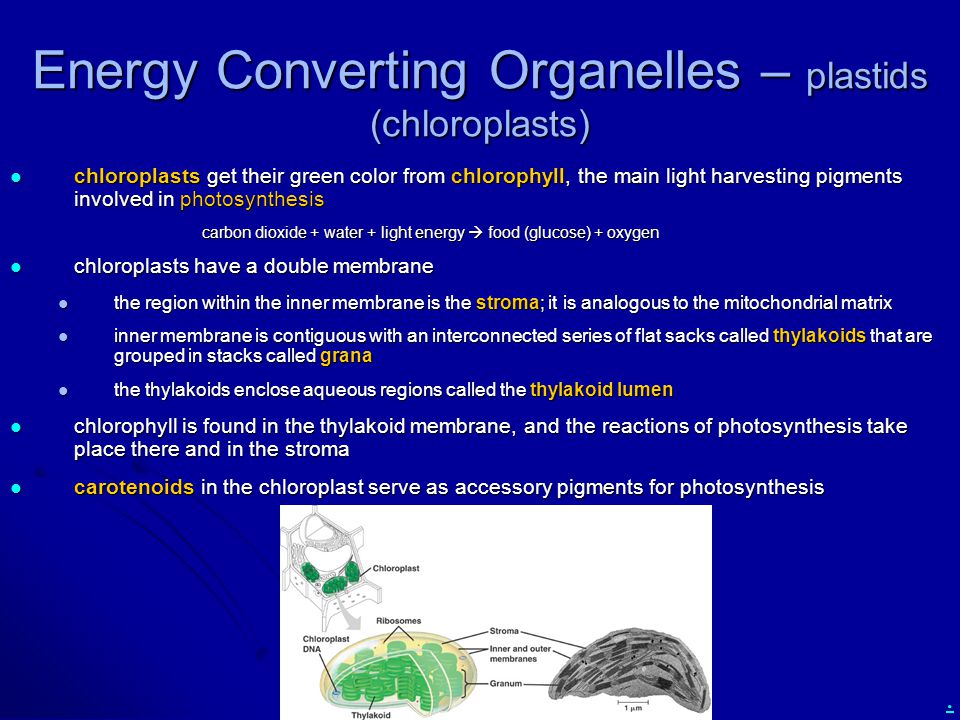 . Energy Converting Organelles – plastids (chloroplasts) chloroplasts get their green color from chlorophyll, the main light harvesting pigments involved in photosynthesis chloroplasts get their green color from chlorophyll, the main light harvesting pigments involved in photosynthesis carbon dioxide + water + light energy  food (glucose) + oxygen chloroplasts have a double membrane chloroplasts have a double membrane the region within the inner membrane is the stroma; it is analogous to the mitochondrial matrix the region within the inner membrane is the stroma; it is analogous to the mitochondrial matrix inner membrane is contiguous with an interconnected series of flat sacks called thylakoids that are grouped in stacks called grana inner membrane is contiguous with an interconnected series of flat sacks called thylakoids that are grouped in stacks called grana the thylakoids enclose aqueous regions called the thylakoid lumen the thylakoids enclose aqueous regions called the thylakoid lumen chlorophyll is found in the thylakoid membrane, and the reactions of photosynthesis take place there and in the stroma chlorophyll is found in the thylakoid membrane, and the reactions of photosynthesis take place there and in the stroma carotenoids in the chloroplast serve as accessory pigments for photosynthesis carotenoids in the chloroplast serve as accessory pigments for photosynthesis