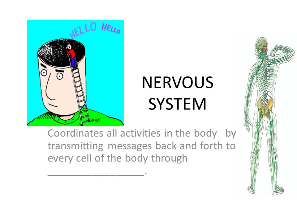 NERVOUS SYSTEM Coordinates all activities in the body by transmitting messages back and forth to every cell of the body through _________________.