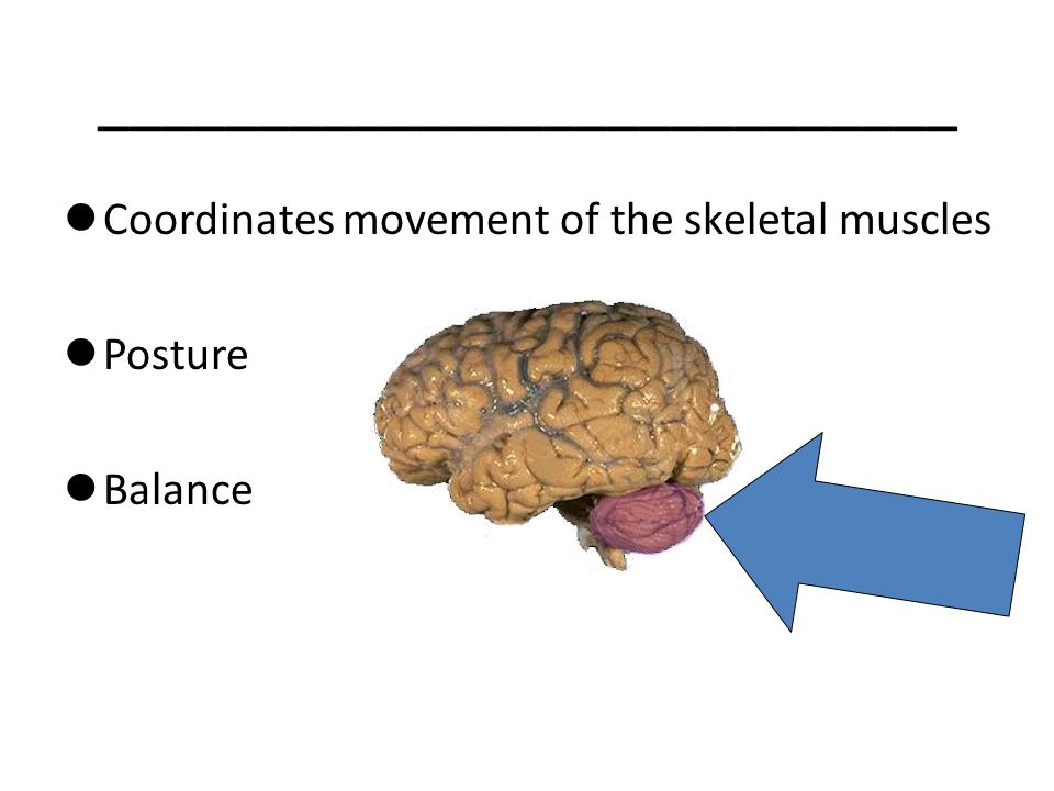___________________________ Coordinates movement of the skeletal muscles Posture Balance