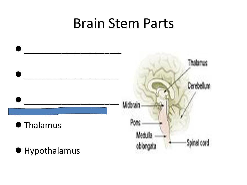 Brain Stem Parts _______________________ ____________________ Thalamus Hypothalamus