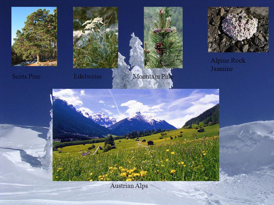 Scots Pine Alpine Rock Jasmine EdelweissMountain Pine Austrian Alps
