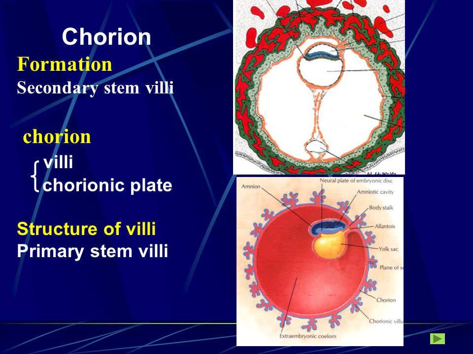 Intervillous space Decidual septum Cytotrophoblast shell Spiral artery Decidua basalis Chorion laeve Chorion frondosum 3 layers: basal plate decidua basalis cytotrophoblastic shell Villi and intervillous space chorionic plate