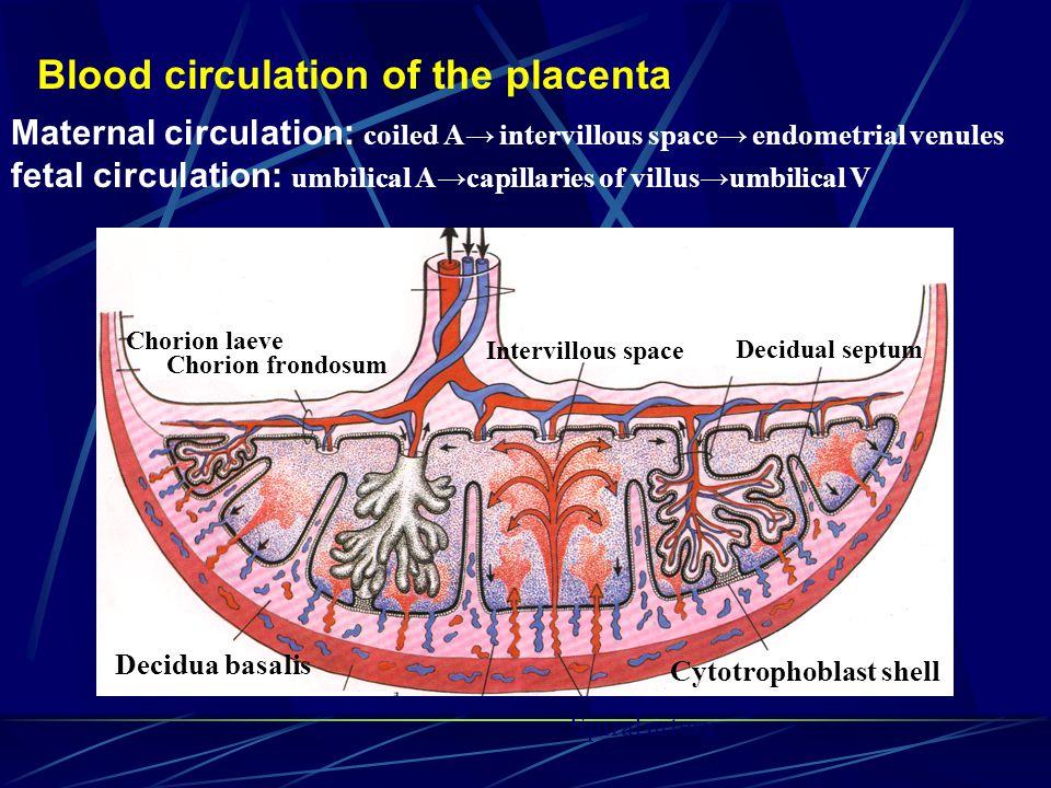 Intervillous space Placenta septum Free villus chorionic plate basal plate Cytotrophoblastic shell Cytotrophoblastic column