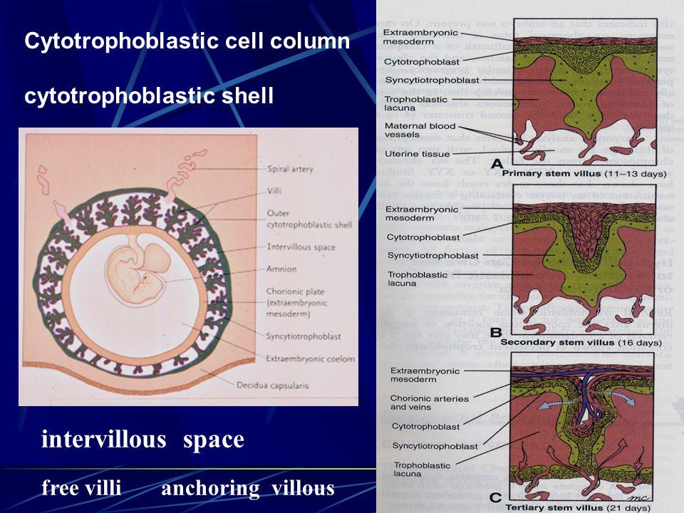 Cytotrophoblastic cell column cytotrophoblastic shell intervillous space free villi anchoring villous