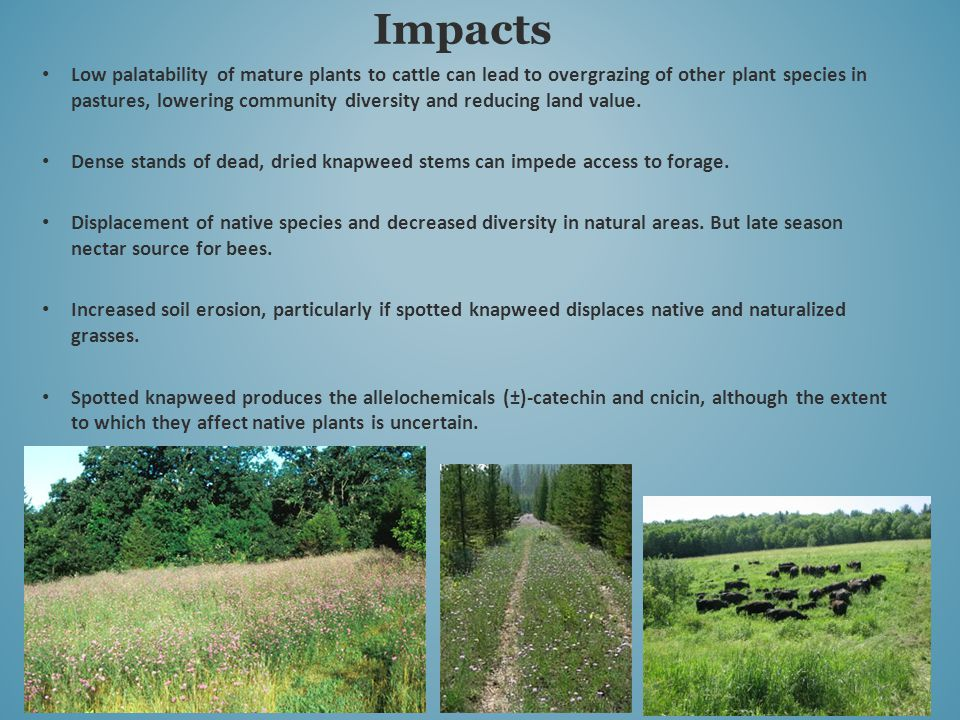 Low palatability of mature plants to cattle can lead to overgrazing of other plant species in pastures, lowering community diversity and reducing land