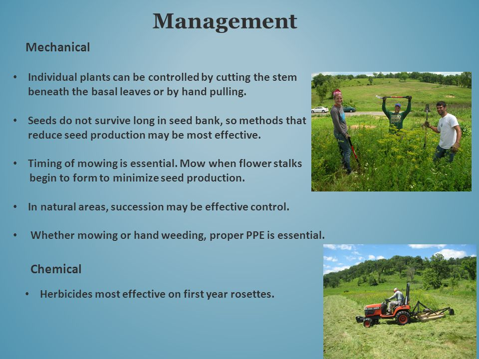 Management Mechanical Individual plants can be controlled by cutting the stem beneath the basal leaves or by hand pulling.