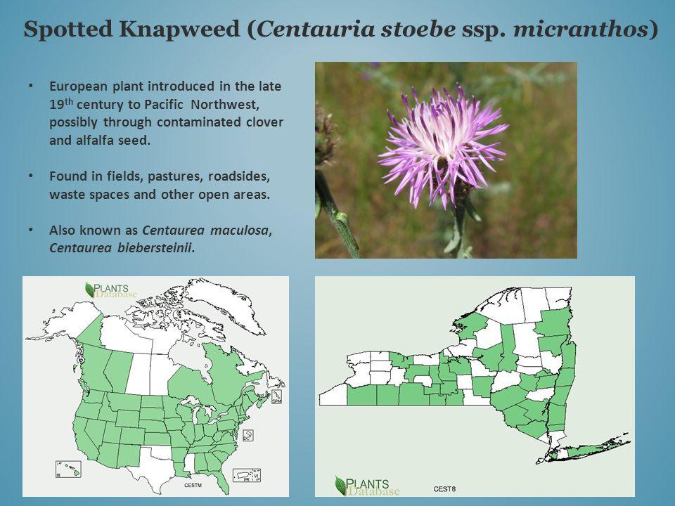Spotted Knapweed (Centauria stoebe ssp.