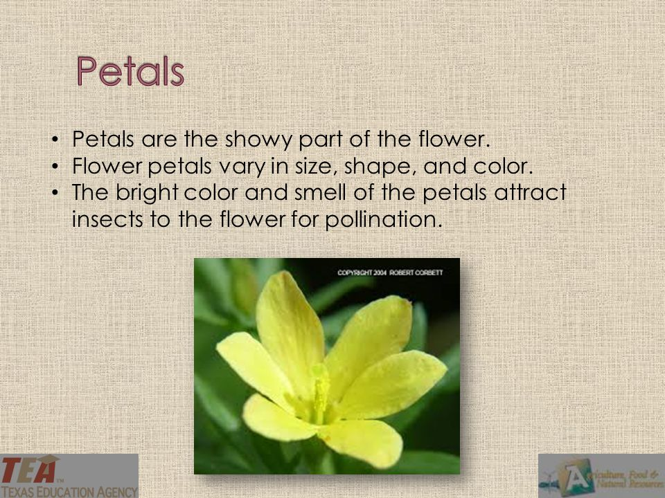 Petals are the showy part of the flower. Flower petals vary in size, shape, and color. The bright color and smell of the petals attract insects to the