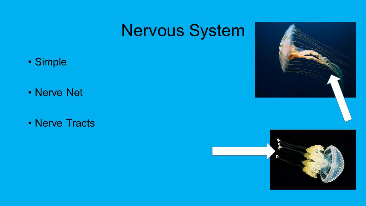Nervous System Simple Nerve Net Nerve Tracts