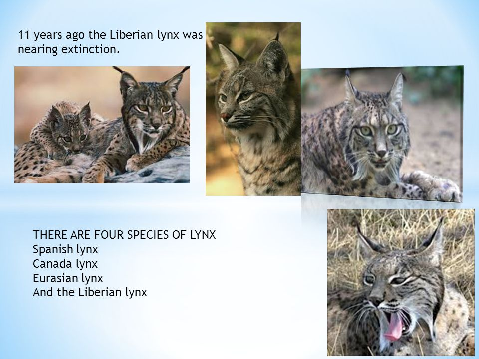 11 years ago the Liberian lynx was nearing extinction.
