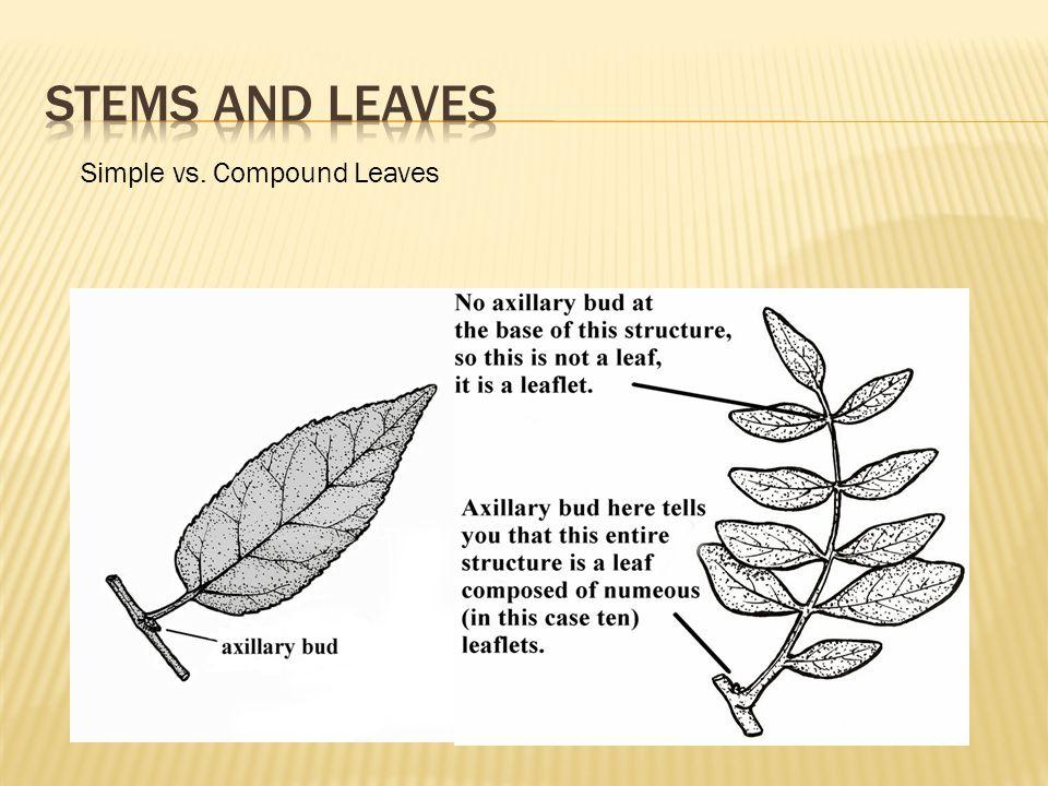 Simple vs. Compound Leaves