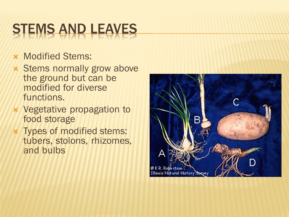  Modified Stems:  Stems normally grow above the ground but can be modified for diverse functions.  Vegetative propagation to food storage  Types o