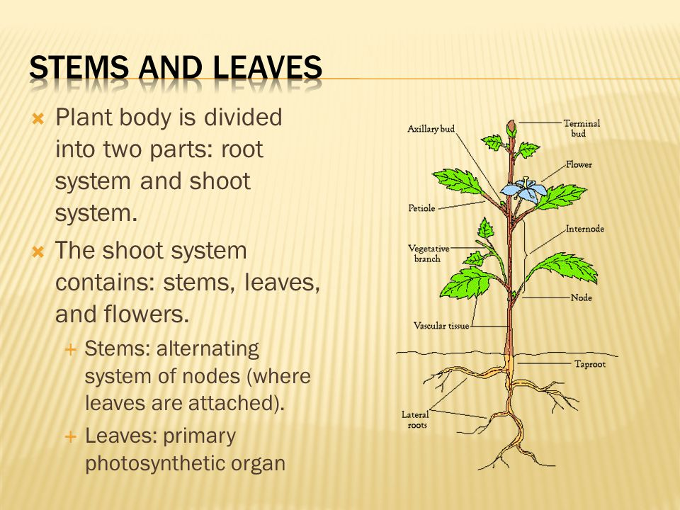  Plant body is divided into two parts: root system and shoot system.  The shoot system contains: stems, leaves, and flowers.  Stems: alternating sy