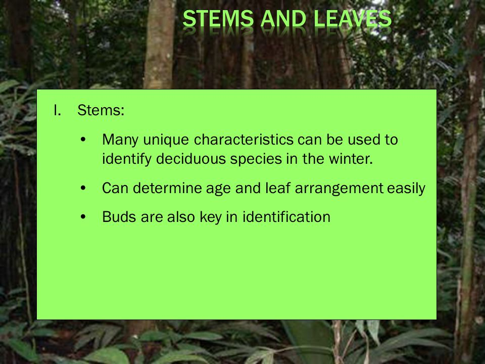 I.Stems: Many unique characteristics can be used to identify deciduous species in the winter.