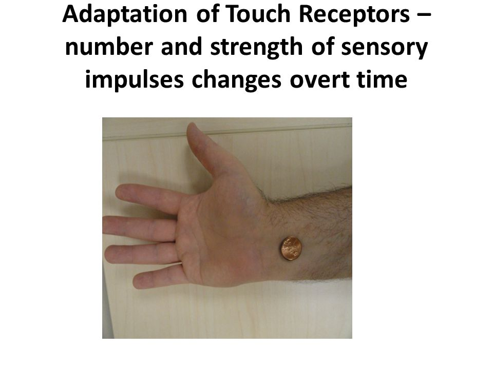 Adaptation of Touch Receptors – number and strength of sensory impulses changes overt time