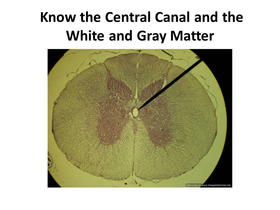 Know the Central Canal and the White and Gray Matter