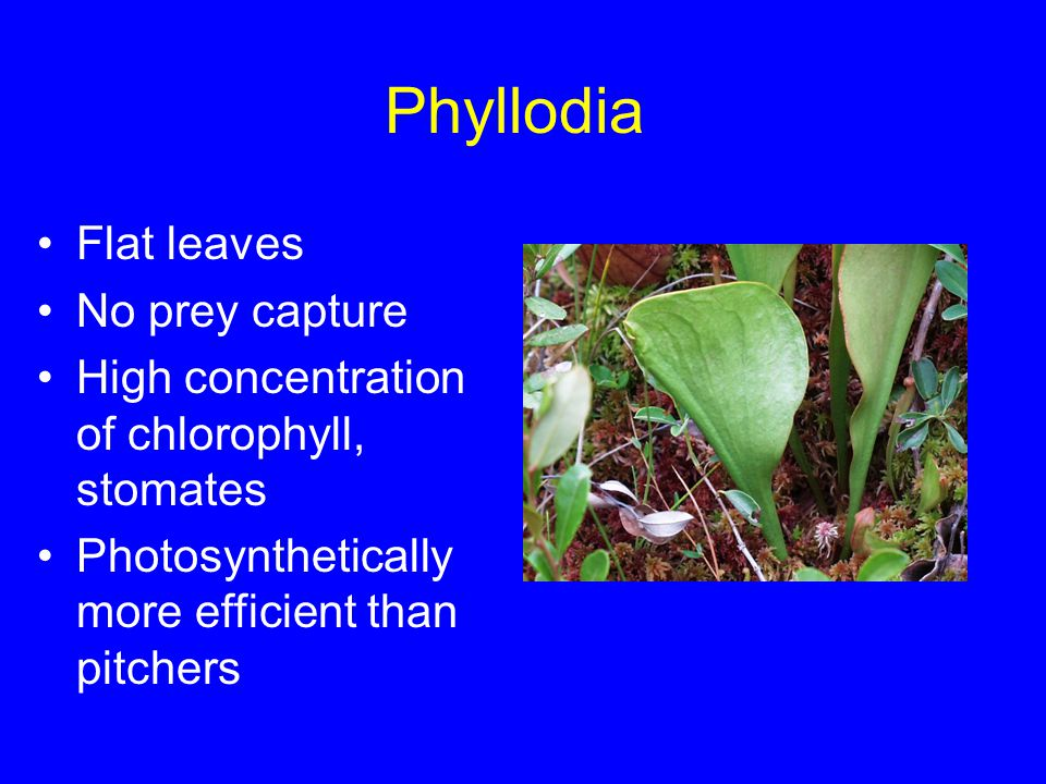 Phyllodia Flat leaves No prey capture High concentration of chlorophyll, stomates Photosynthetically more efficient than pitchers