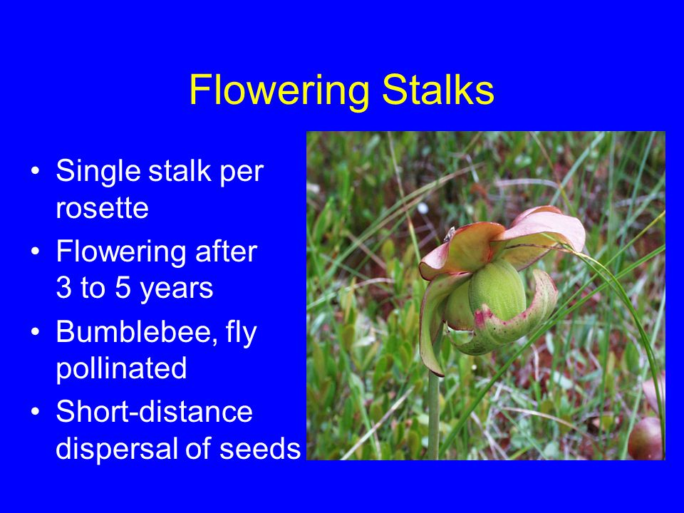 Flowering Stalks Single stalk per rosette Flowering after 3 to 5 years Bumblebee, fly pollinated Short-distance dispersal of seeds