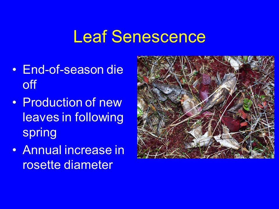Leaf Senescence End-of-season die off Production of new leaves in following spring Annual increase in rosette diameter
