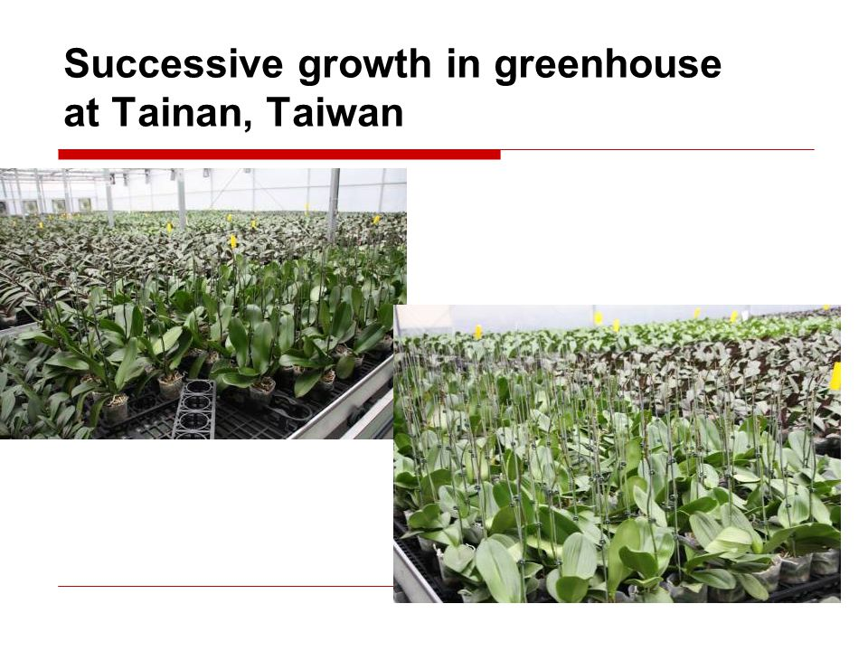 Successive growth in greenhouse at Tainan, Taiwan