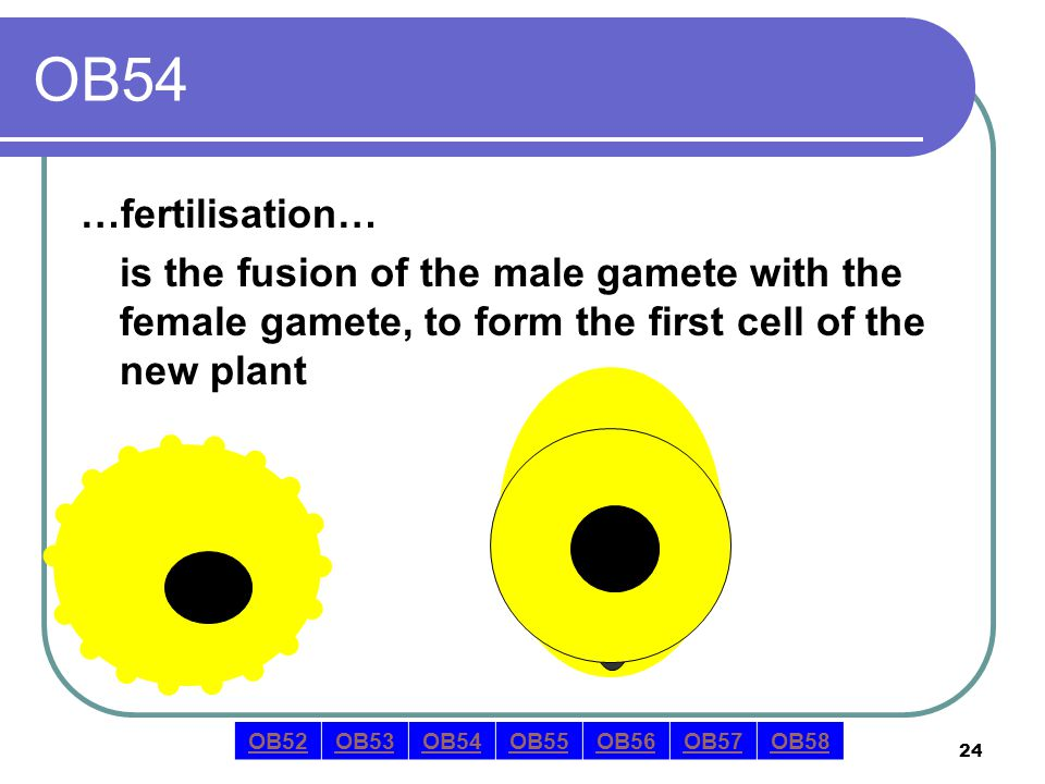 24 OB54 …fertilisation… is the fusion of the male gamete with the female gamete, to form the first cell of the new plant OB52OB53OB54OB55OB56OB57OB58
