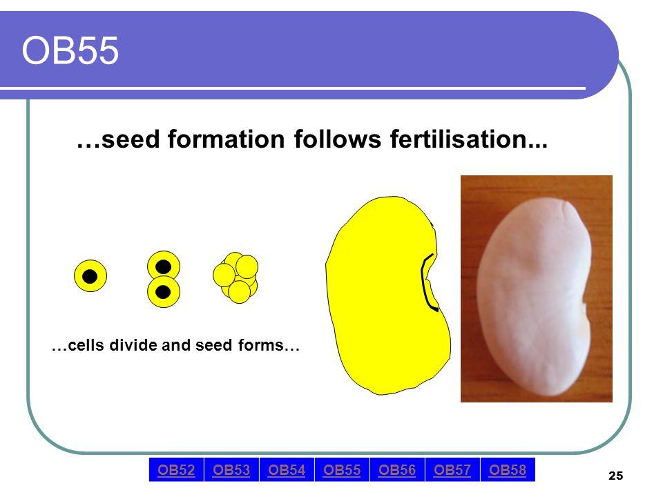 25 OB55 …seed formation follows fertilisation... OB52OB53OB54OB55OB56OB57OB58 …cells divide and seed forms…