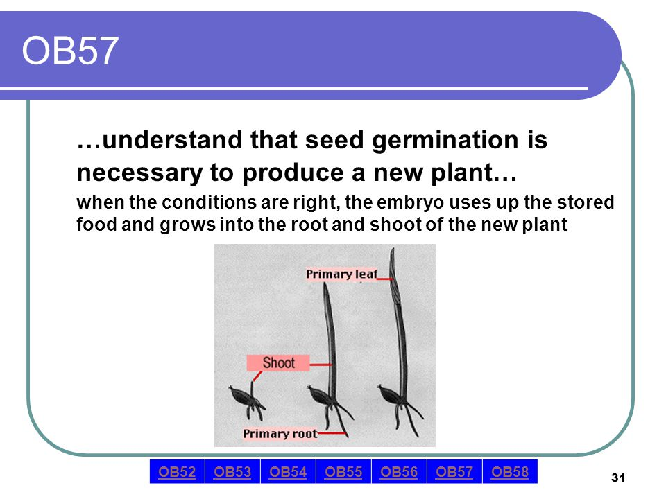 31 OB57 …understand that seed germination is necessary to produce a new plant… when the conditions are right, the embryo uses up the stored food and grows into the root and shoot of the new plant OB52OB53OB54OB55OB56OB57OB58