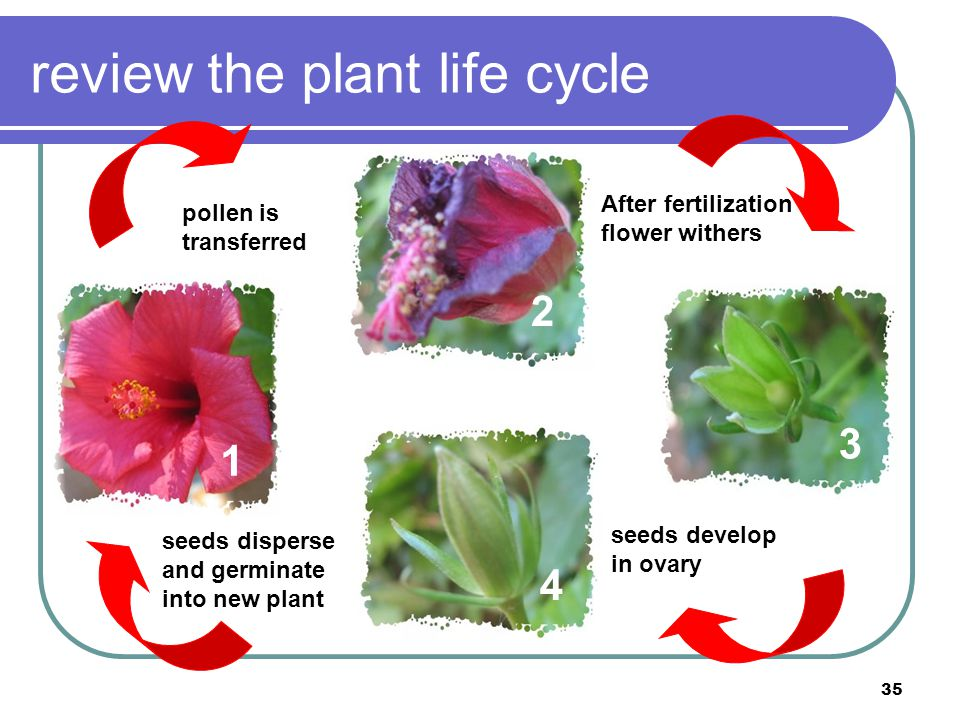 35 review the plant life cycle 1 4 2 pollen is transferred 3 After fertilization flower withers seeds disperse and germinate into new plant seeds deve
