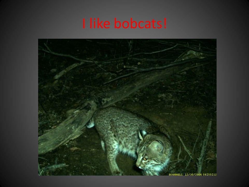 I like bobcats!