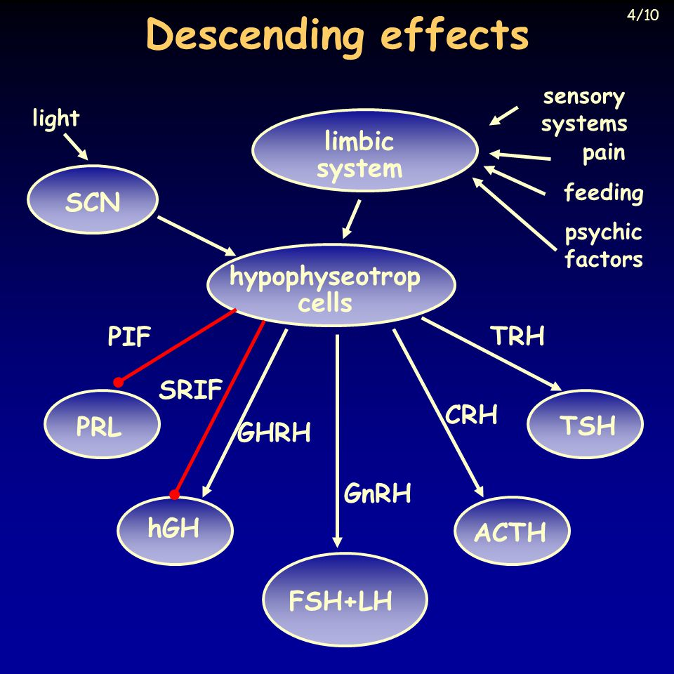 Descending effects PRL ACTH hGH TSH FSH+LH hypophyseotrop cells PIF TRH CRH GnRH SRIF GHRH light SCN limbic system sensory systems pain feeding psychic factors 4/10