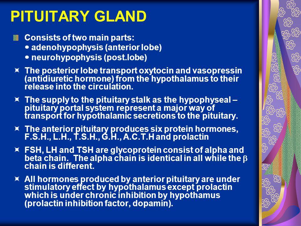 PITUITARY GLAND Consists of two main parts: adenohypophysis (anterior lobe) neurohypophysis (post.lobe)  The posterior lobe transport oxytocin and va