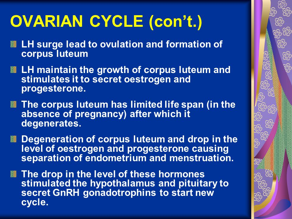 OVARIAN CYCLE (con't.) LH surge lead to ovulation and formation of corpus luteum LH maintain the growth of corpus luteum and stimulates it to secret o