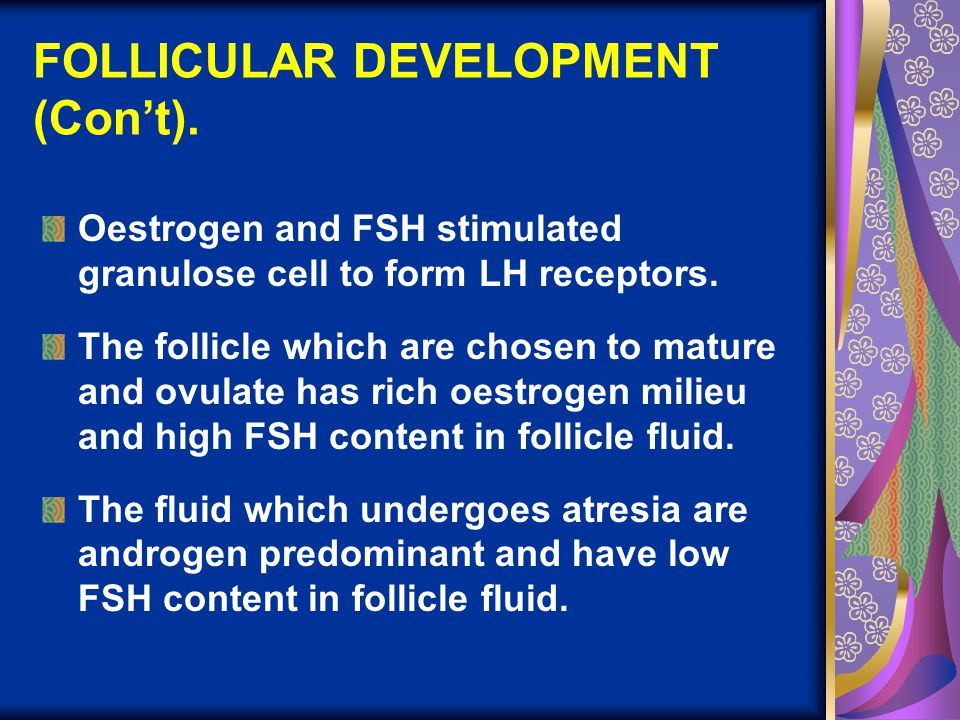 FOLLICULAR DEVELOPMENT (Con't). Oestrogen and FSH stimulated granulose cell to form LH receptors. The follicle which are chosen to mature and ovulate