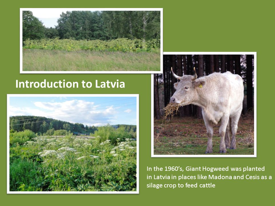 Introduction to Latvia In the 1960's, Giant Hogweed was planted in Latvia in places like Madona and Cesis as a silage crop to feed cattle