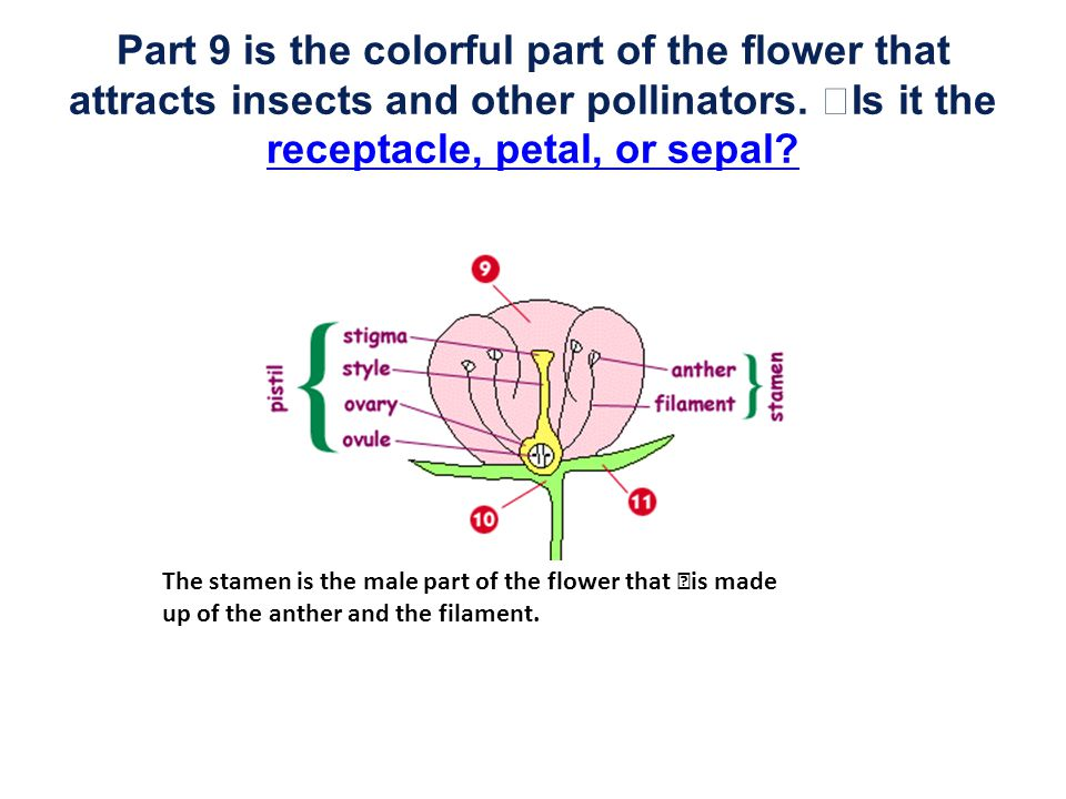 Part 9 is the colorful part of the flower that attracts insects and other pollinators. Is it the receptacle, petal, or sepal? receptacle, petal, or se