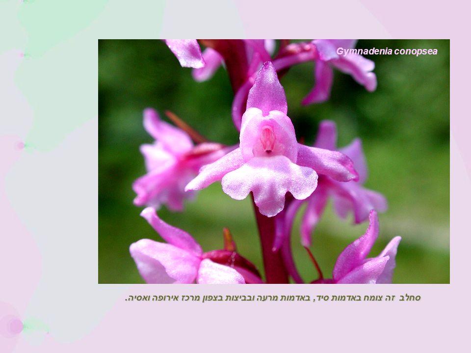 Gymnadenia conopsea סחלב זה צומח באדמות סיד, באדמות מרעה ובביצות בצפון מרכז אירופה ואסיה.