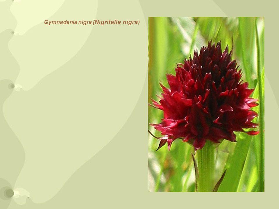 Gymnadenia nigra ( Nigritella nigra)