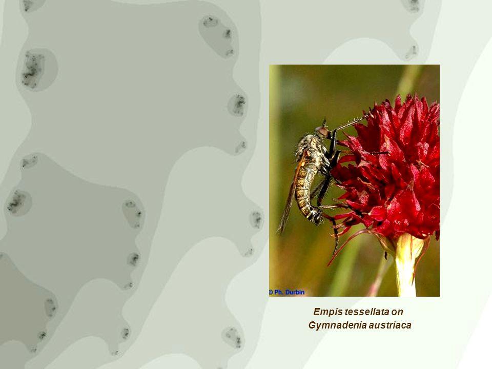 Empis tessellata on Gymnadenia austriaca