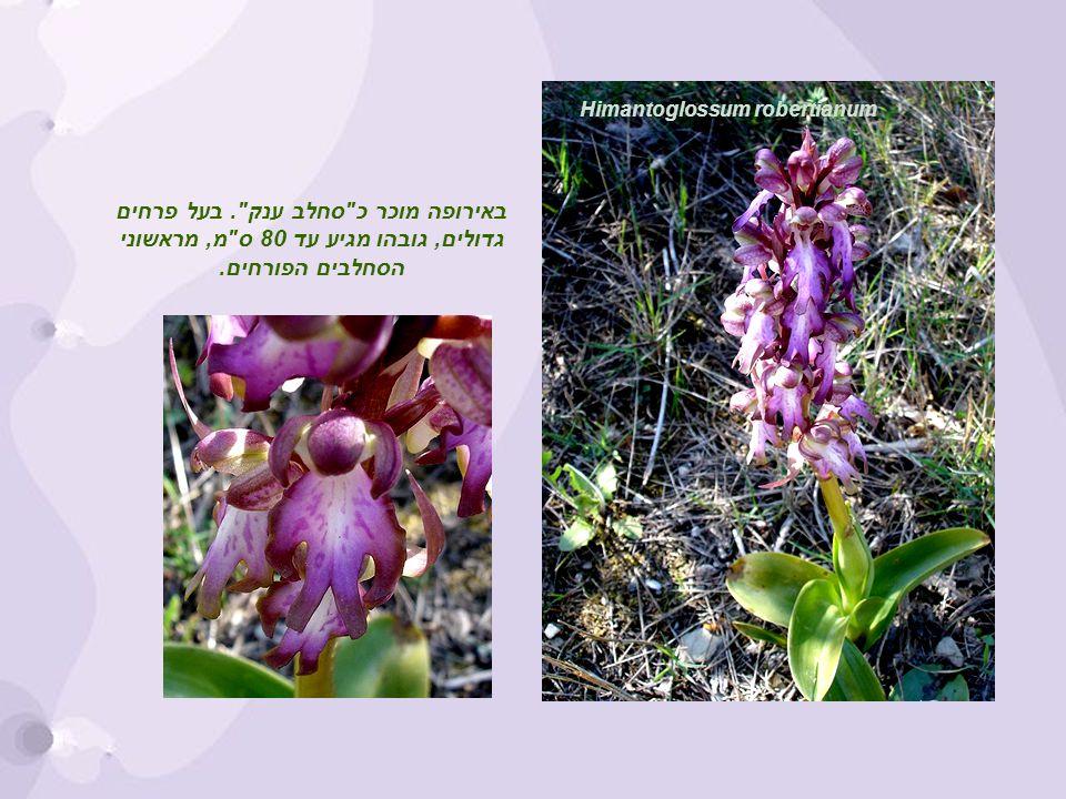 Himantoglossum robertianum באירופה מוכר כ סחלב ענק .