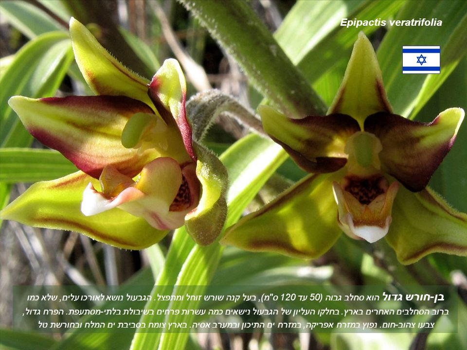 Epipactis veratrifolia בן-חורש גדול הוא סחלב גבוה (50 עד 120 ס מ), בעל קנה שורש זוחל ומתפצל.
