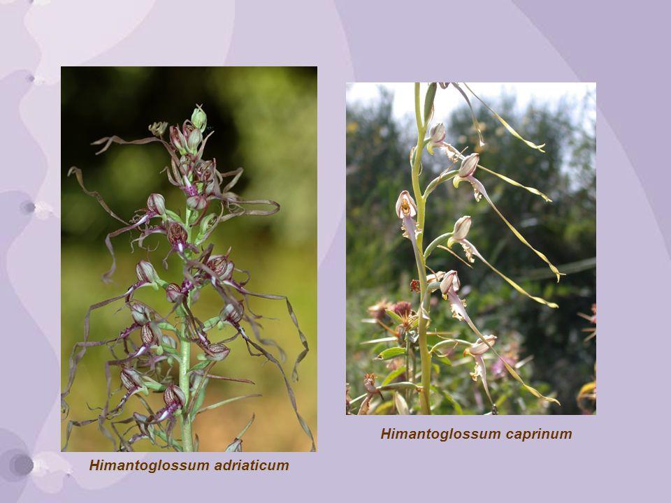 Himantoglossum adriaticum Himantoglossum caprinum